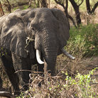 Picture - An elephant wandering through Manyara Lake National Park.