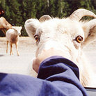 Picture - A big horn sheep sniffs at a visitor in a car, near Lake Minnewanka in Banff National Park.