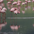 Picture - Flamingos at Lake Nakuru.