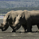 Picture - Rhinos at Lake Nakuru National Park.