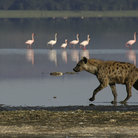 Picture - Hyena and flamingos at Lake Nakuru National Park.