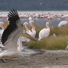 Picture - Pelicans on Lake Nakuru.