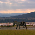Picture - Pelicans and zebra at sunset on Lake Nakuru.