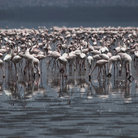 Picture - Flamingos at Lake Nakuru National Park.