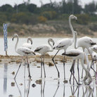 Picture - Flamingos on the Larnaca Salt Lake.