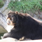 Picture - Brown bear enjoying the sun at the Lincoln Park Zoo in Chicago.