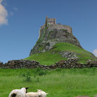 Picture - Sheep in front of the Lindisfarne Castle.