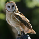 Picture - Barn Owl at the Lindsay Wildlife Museum.