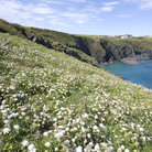 Picture - Wildflowers at Lizard Point.