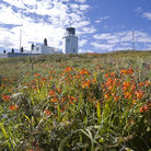 Picture - Flowers in front of the lighthouse on Lizard Point.