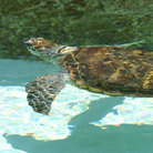 Picture - Sea Turtle at Long Beach Aquarium.
