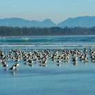 Picture - Seagulls on Long Beach, Tofino.