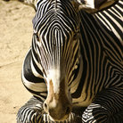 Picture - A zebra at the Los Angeles Zoo.