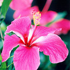 Picture - Pink hibiscus scene throughout Venezuela.