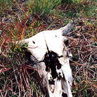 Picture - Cattle skull rests in field on the Los Llanos.