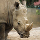 Picture - A white rhino at the Louisville Zoo.