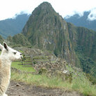 Picture - Llama overlooks terraces & observatory hill at Machu Picchu.
