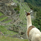 Picture - Llama overlooks main temple & observatory hill at Machu Picchu.