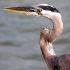 Picture - A heron at Madeira Beach.