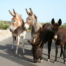 Picture - Wild donkeys on the street in Mani.