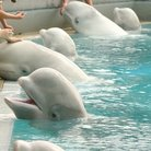 Picture - Feeding and petting beluga whales at Marineland in Niagara Falls.