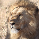 Picture - Lion rests in the grass of Masai Mara Reserve.