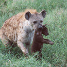 Picture - Hyena and cub on the plains of Masai Mara Reserve.