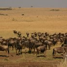Picture - Wildebeest migaration, Masai Mara National Reserve.