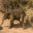 Picture - Baby elephant in Masai Mara National Reserve.
