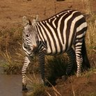 Picture - Zebra at a watering hole in Masai Mara National Reserve.