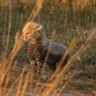 Picture - Cheeta cub in Masai Mara National Reserve.