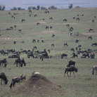 Picture - Herd of wildebeest in Masai Mara National Reserve.