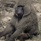 Picture - Baboon in Masai Mara National Reserve.