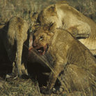 Picture - Lions at a wildebeest kill in Masai Mara National Reserve.