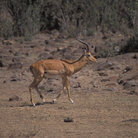 Picture - An impala in Masai Mara National Reserve.