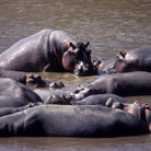 Picture - Hippos in the water, Masai Mara National Reserve.