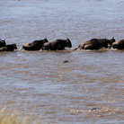 Picture - Wildebeest crossing a river in Masai Mara.