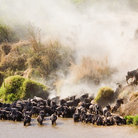 Picture - Wildebeest and zebra migration at the Mara River.