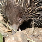 Picture - Echidna or spiny anteater native to Australia in the wild north of Melbourne.