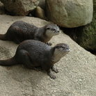 Picture - Otters at the Melbourne Zoo.