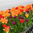 Picture - Tulips along Michigan Avenue in Chicago.
