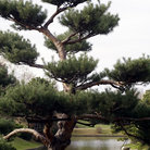 Picture - Japanese Pine, Missouri Botanical Gardens, St Louis.