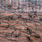 Picture - Vines climb the brick wall in Missouri Botanical Gardens.