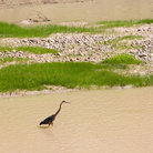 Picture - A heron in a river near Moab.