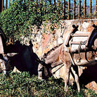 Picture - Burros tied to fence in Santa Fe.