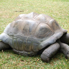 Picture - Tortoise in Mombasa.