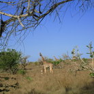 Picture - Giraffes at the Nguuni Sanctuary.
