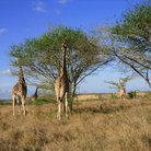 Picture - Giraffs at the Nguuni Sanctuary.