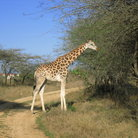Picture - A giraffe on a dirt road at the Nguuni Sanctuary.