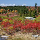 Picture - Dolly Sods landscape at Monogahela National Park in West Virginia.